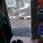 Утришская лиса