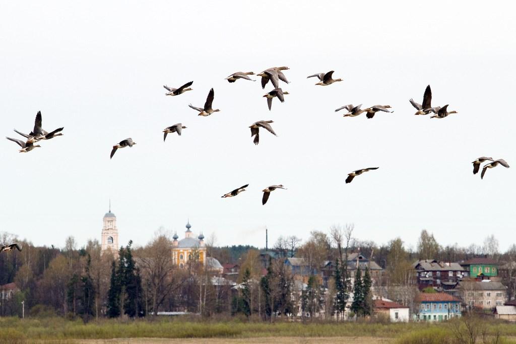Птицеводы Бурятии и Прибайкалья - Страница 4 Kologriv-gusi_web