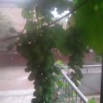 Грузия, Амбролаури, виноград