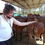 Коровы Индии